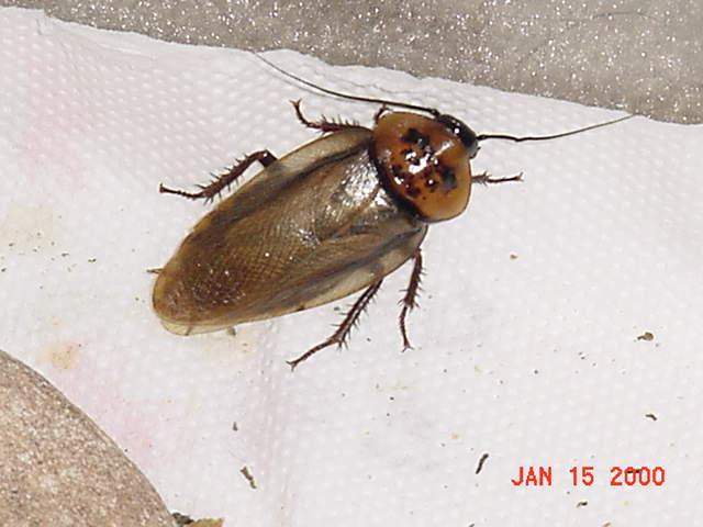 Orangeheadroach